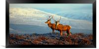 Red deer stags, Framed Print