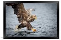 Male White-tailed Eagle, Framed Print