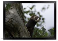 Polecat on the lookout, Framed Print