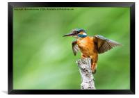 Kingfisher Spreading Wings, Framed Print