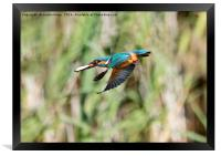 Kingfisher Flying With Fish, Framed Print