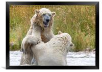 Male Polarbear Playing in Lake, Framed Print