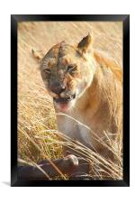 Lioness With Wilderbeest Kill, Framed Print