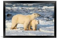 Standing Guard Over Her Cub, Churchill, Canada, Framed Print