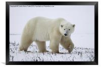 Polar Bear, Churchill, Canada, Framed Print