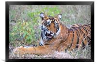 Young Bengal Tiger, Framed Print