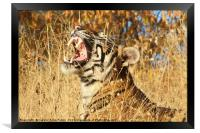 Yawn: Sub-Adult Male Bengal Tiger, Framed Print