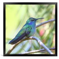 Green Violetear Hummingbird, Framed Print