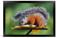 Variegated Squirrel, Framed Print