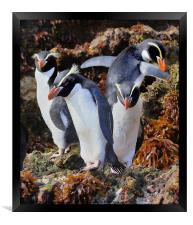 Snares Crested Penguins , Framed Print