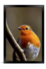 Bright eyed Robin, Framed Print