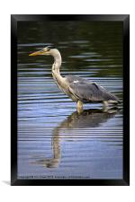 Grey Heron reflected in calm water, Framed Print