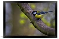 Great Tit, Framed Print