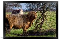 Highland cattle and a gnarled tree, Framed Print
