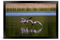 Greylags in flight, Framed Print