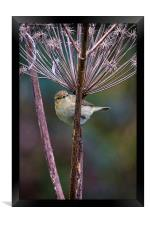 Young Willow Warbler, Framed Print