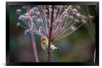 Young Willow Warbler perched in Cow Parsley, Framed Print