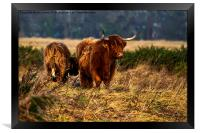 Highland cow and her calf, Framed Print