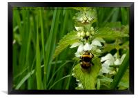 Bee on Nettle flowers; two stingers together, Framed Print