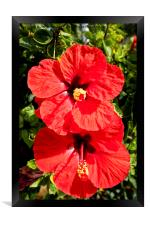 Blood-red Hibiscus, Framed Print