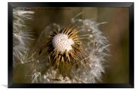Dandelion seeds and their parachutes, Framed Print