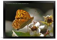 Silver Washed Fritillary, Framed Print