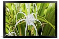 Tears of a Ginger Lily, Framed Print