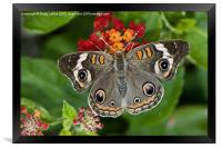 Common Buckeye Butterfly, Framed Print