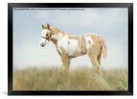 Pinto Filly, Framed Print
