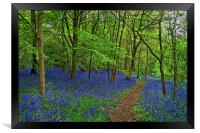Woolley Wood  Bluebells                           , Framed Print