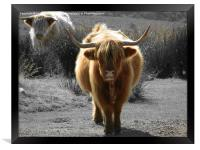highland cow faceoff, Framed Print