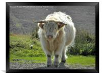 highland cow face off 2, Framed Print