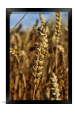 Ear of wheat, Framed Print