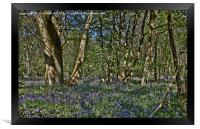 Bluebells in the woods, Framed Print