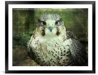 Peregrin Falcon, Framed Mounted Print
