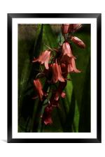 Bluebells Are Red., Framed Mounted Print