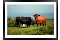 Bullock and Cow., Framed Mounted Print