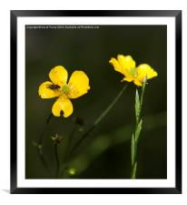 Yellow flower and a fly, Framed Mounted Print