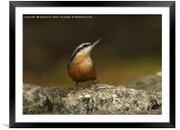 Nuthatch 3, Framed Mounted Print