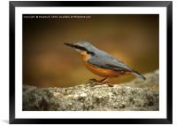 Nuthatch 5, Framed Mounted Print