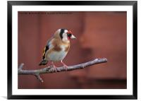 Goldfinch 19, Framed Mounted Print