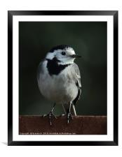 Pied Wagtail, Framed Mounted Print