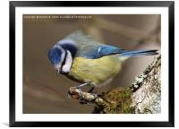 Blue Tit 4, Framed Mounted Print