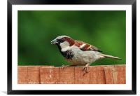 Sparrow, Framed Mounted Print