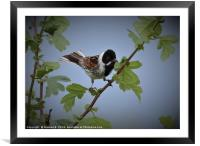 Male Reed Bunting2, Framed Mounted Print