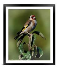 Goldfinch.., Framed Mounted Print