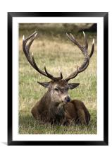 12 Point Stag, Framed Mounted Print