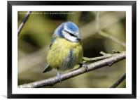 Blue tit with eyes closed, Framed Mounted Print
