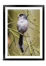 Long-Tailed Tit, Framed Mounted Print