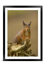 Red Squirrel on rustic log., Framed Mounted Print
